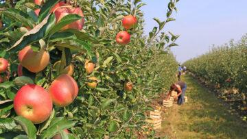 O essencial que deve ter em conta para a instalação de um pomar de macieiras