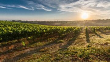Tudo o que deve saber sobre a instalação de uma vinha: informações úteis